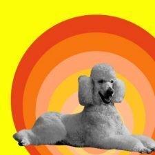 poodle retro yellow lg